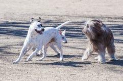 Jouer de deux chiens photo libre de droits