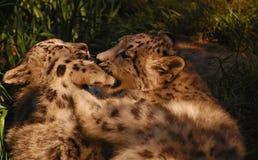 Jouer de deux de neige chatons de léopard Photos stock