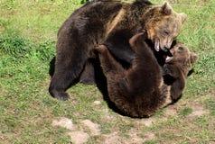 Jouer de deux jeune ours bruns photos stock