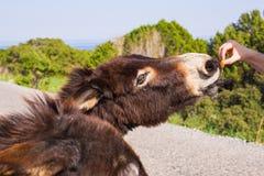 Jouer de jeune homme et âne sauvage d'alimentation, Chypre, région sauvage de protection d'âne de parc national de Karpaz Photographie stock