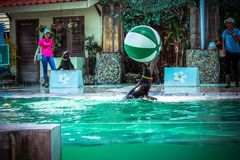 Jouer de lion de ‹d'†de ‹d'†de mer du KOH SAMUI de la THAÏLANDE le 8 avril 2013 Photographie stock libre de droits