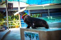 Jouer de lion de ‹d'†de ‹d'†de mer du KOH SAMUI de la THAÏLANDE le 8 avril 2013 Photos stock