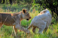 Jouer de lions Photographie stock libre de droits