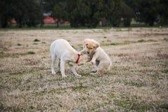 Jouer de mère et de petit animal de labrador retriever Photographie stock libre de droits