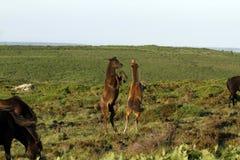Jouer de poulain de Dartmoor Images libres de droits