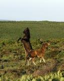 Jouer de poulain de Dartmoor Image stock
