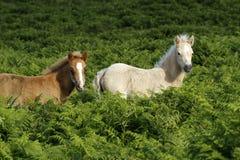 Jouer de poulain de Dartmoor Images stock