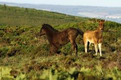 Jouer de poulains de Dartmoor Photo libre de droits