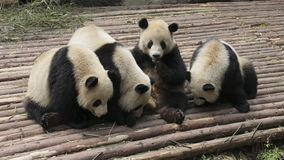 Jouer de quatre beau pandas géants Images libres de droits
