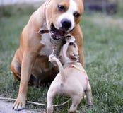jouer de terrier de Staffordshire américain, de femelle et de chiot Images libres de droits
