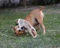 jouer de terrier de Staffordshire américain, de femelle et de chiot Photo libre de droits