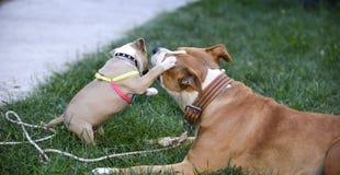 jouer de terrier de Staffordshire américain, de femelle et de chiot Photos libres de droits