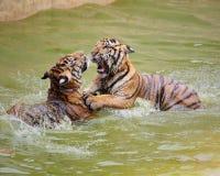 Jouer de tigre de deux jeunes Photos stock