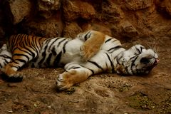 Jouer de tigre mort Photo stock