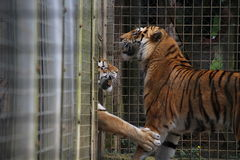 Jouer de tigres Image libre de droits