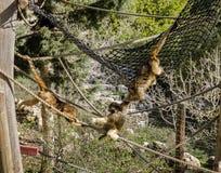 Jouer de trois singes Photographie stock libre de droits