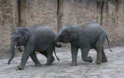 Jouer de veau d'éléphant asiatique Photographie stock libre de droits