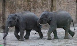 Jouer de veau d'éléphant asiatique Photographie stock