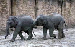 Jouer de veau d'éléphant asiatique Photos libres de droits