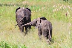 Jouer des éléphants en parc de Tarangire, la Tanzanie Photos stock