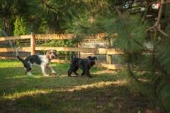 jouer des chiens en parc automnal Photographie stock libre de droits
