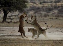 Jouer des lionnes Photo libre de droits