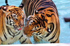 Jouer des tigres Photo stock