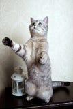 Jouer droit écossais de chaton mignon sur ses jambes de derrière Image libre de droits