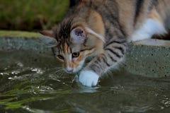 Jouer femelle de chat norvégien de forêt avec de l'eau photo stock