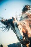 Jouer le cheval dans un saut sur les jambes plan et s'opposer avec ses jambes de derrière Images stock
