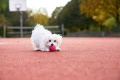 Jouer maltais mignon sur le court de tennis Image stock