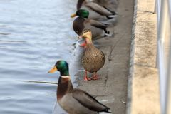 Jouer mignon de canard Photo libre de droits