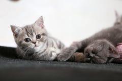 Jouer mignon de deux chatons Photos stock