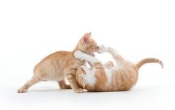 Jouer mignon de deux chatons Image libre de droits