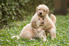 Jouer mignon de deux chiots de golden retriever Photo libre de droits
