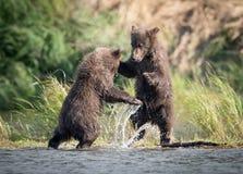 Jouer mignon de deux petits animaux d'ours brun Image stock