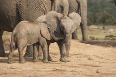 Jouer minuscule d'éléphant du bébé deux Photographie stock libre de droits