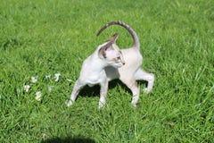Jouer siamois de chaton Image libre de droits