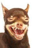 Jouet-chien terrier russe. Photographie stock libre de droits