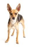 Jouet-chien terrier russe Images libres de droits
