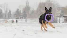 Jouet jouant neigeux givré de long de cheveux hiver de berger allemand Photographie stock libre de droits