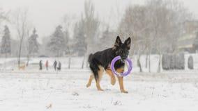 Jouet jouant neigeux givré de long de cheveux hiver de berger allemand Images stock