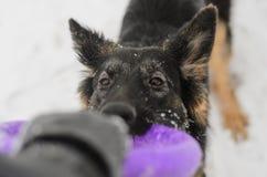 Jouet jouant neigeux givré de long de cheveux hiver de berger allemand Photo libre de droits