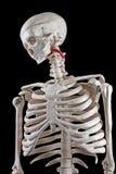 Jouet squelettique humain Photo stock