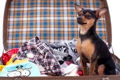jouet-Terrier aux cheveux lisses dans la valise de voyage Photo libre de droits