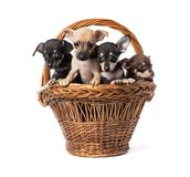 Jouet Terrier de chiot Photo libre de droits