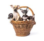 Jouet Terrier de chiot Photographie stock