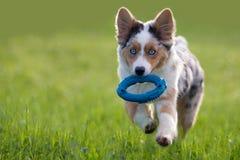 Jouets australiens de chien de Retrieving de berger Images stock