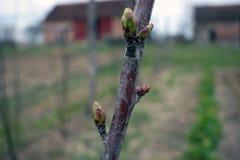 Joung樱桃树在春天 免版税库存图片