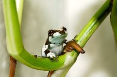 Joung amazon milk frog. Little amazon milk frog on the branch royalty free stock photography